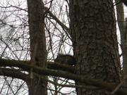 26th Feb 2021 - Squirrel Sitting in Tree