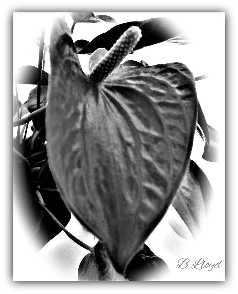 Anthurium  by beryl