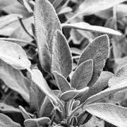 27th Feb 2021 - Sage Leaves