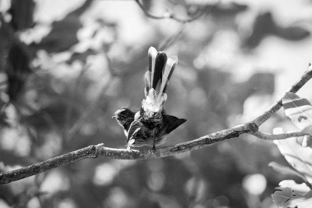Fantail by yaorenliu