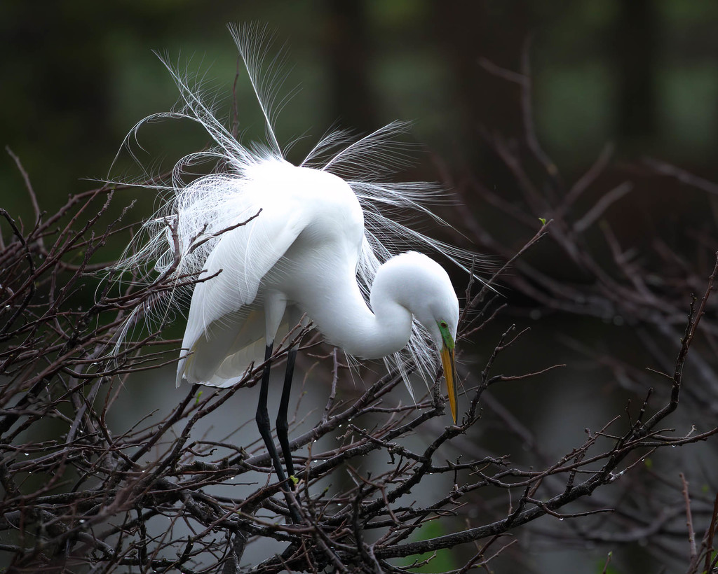Great egret doing his mating dance by dutchothotmailcom