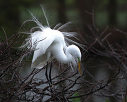 26th Feb 2021 - Great egret doing his mating dance