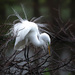 Great egret doing his mating dance