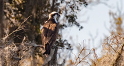 26th Feb 2021 - Found One of the Ospreys Today!
