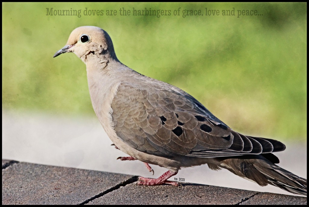 Mourning Dove by madamelucy