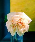 27th Feb 2021 - Climbing rose