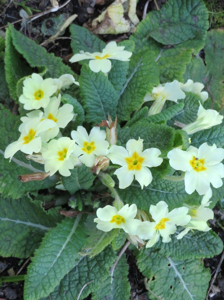 Primroses in the garden by lellie