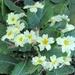 Primroses in the garden