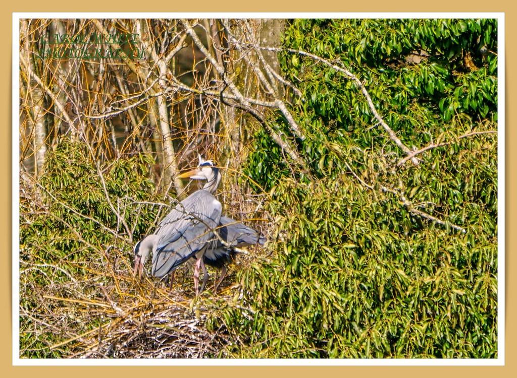 Nesting Grey Herons by carolmw