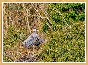 27th Feb 2021 - Nesting Grey Herons