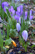 27th Feb 2021 - Stripy Crocus