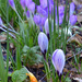 Stripy Crocus