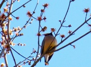 28th Feb 2021 - Red bud maple blossoms and cedar waxwings...