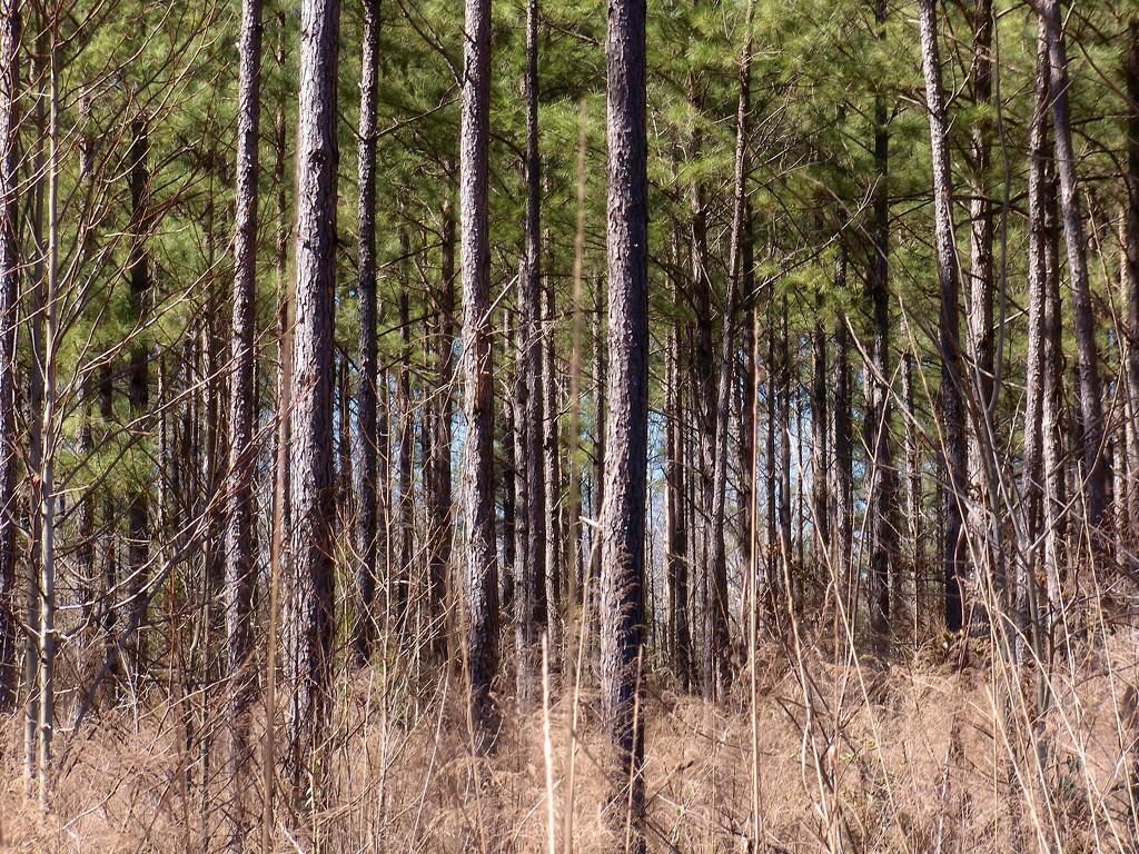 Pine forests... by marlboromaam