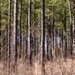 Pine forests...