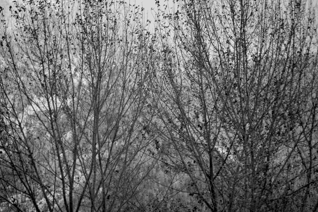 FOR2021 - Trees In Black & White by bjywamer