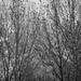 FOR2021 - Trees In Black & White
