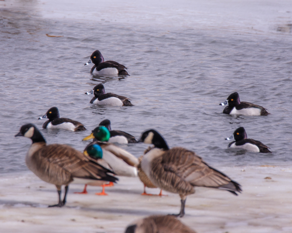 waterfowl by aecasey