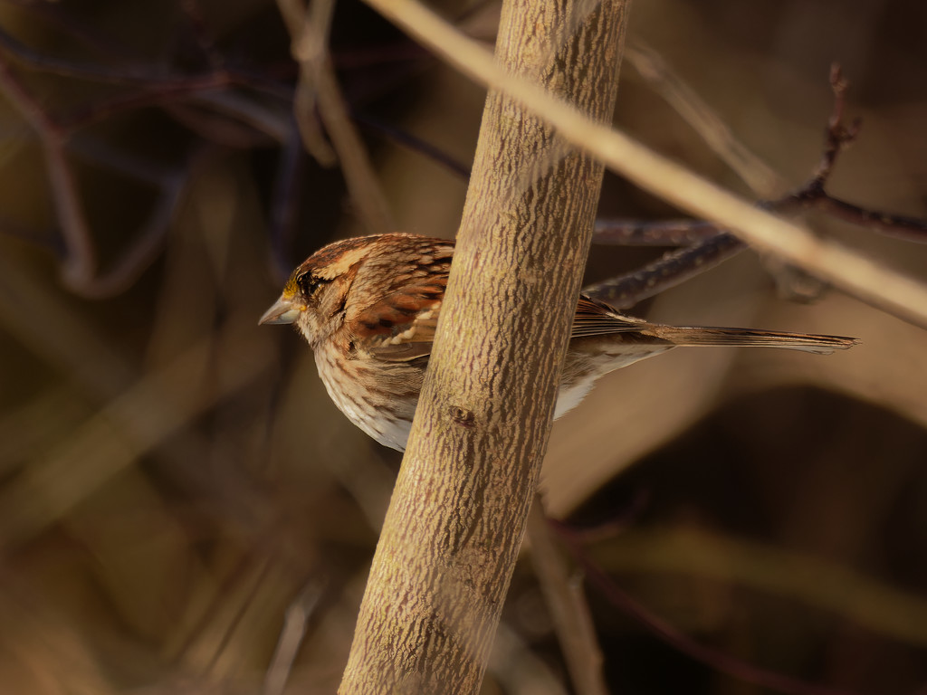 White-throated sparrow  by rminer
