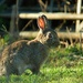 Up hopped a rabbit