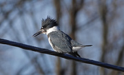 28th Feb 2021 - Belted Kingfisher