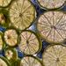 Green lemons.