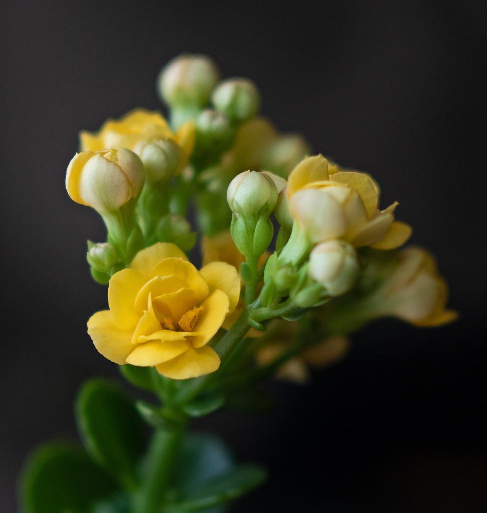 Yellow Succulent Flower by ianjb21