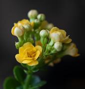 27th Feb 2021 - Yellow Succulent Flower