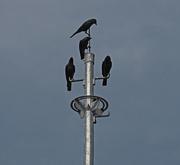 25th Feb 2021 - We four Crows