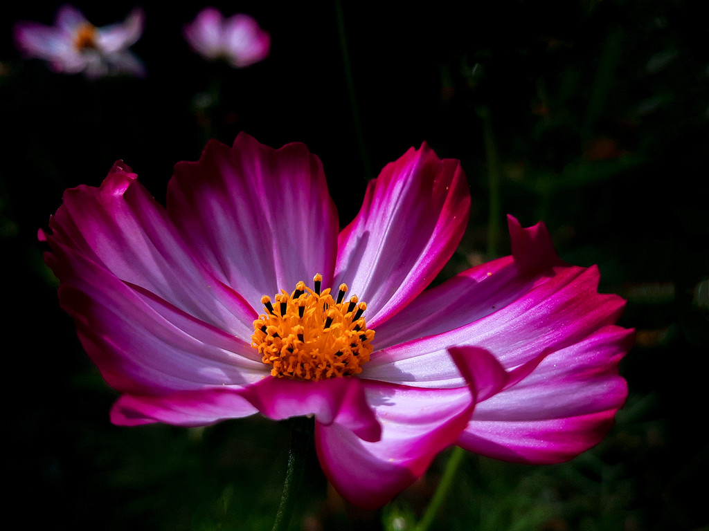 Cosmos in sunshine by maureenpp