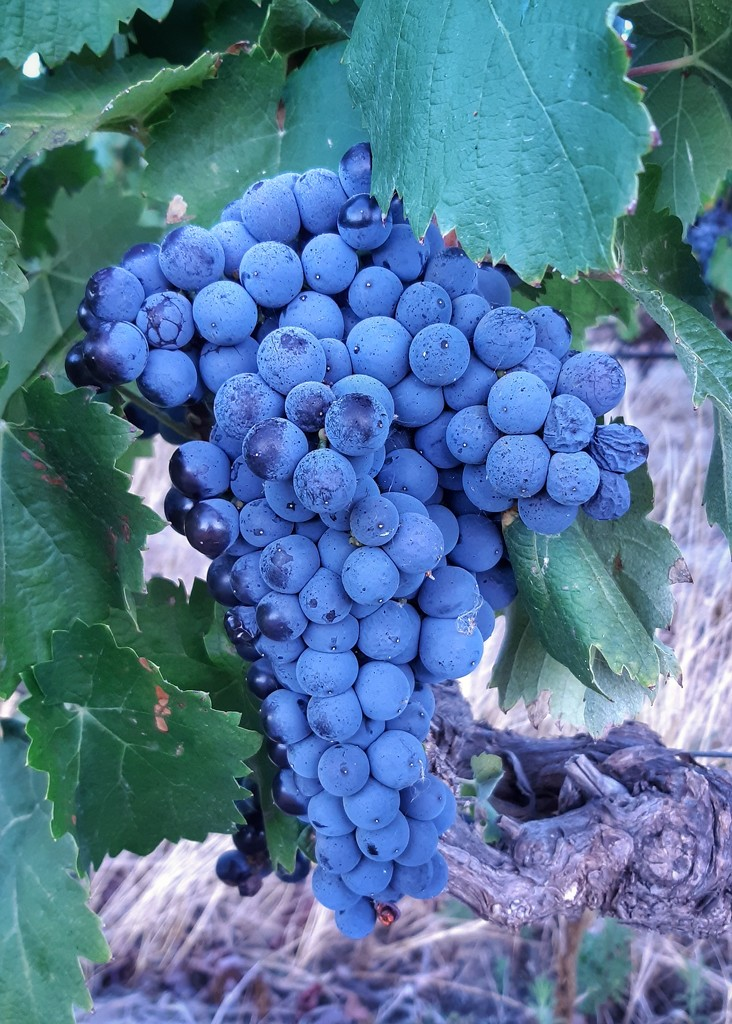 Bunch of Grapes  by salza