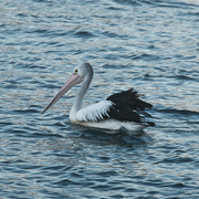 26th Feb 2021 - Pelican on an evening expedition