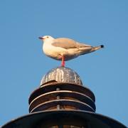 27th Feb 2021 - Seagull surveying the scene