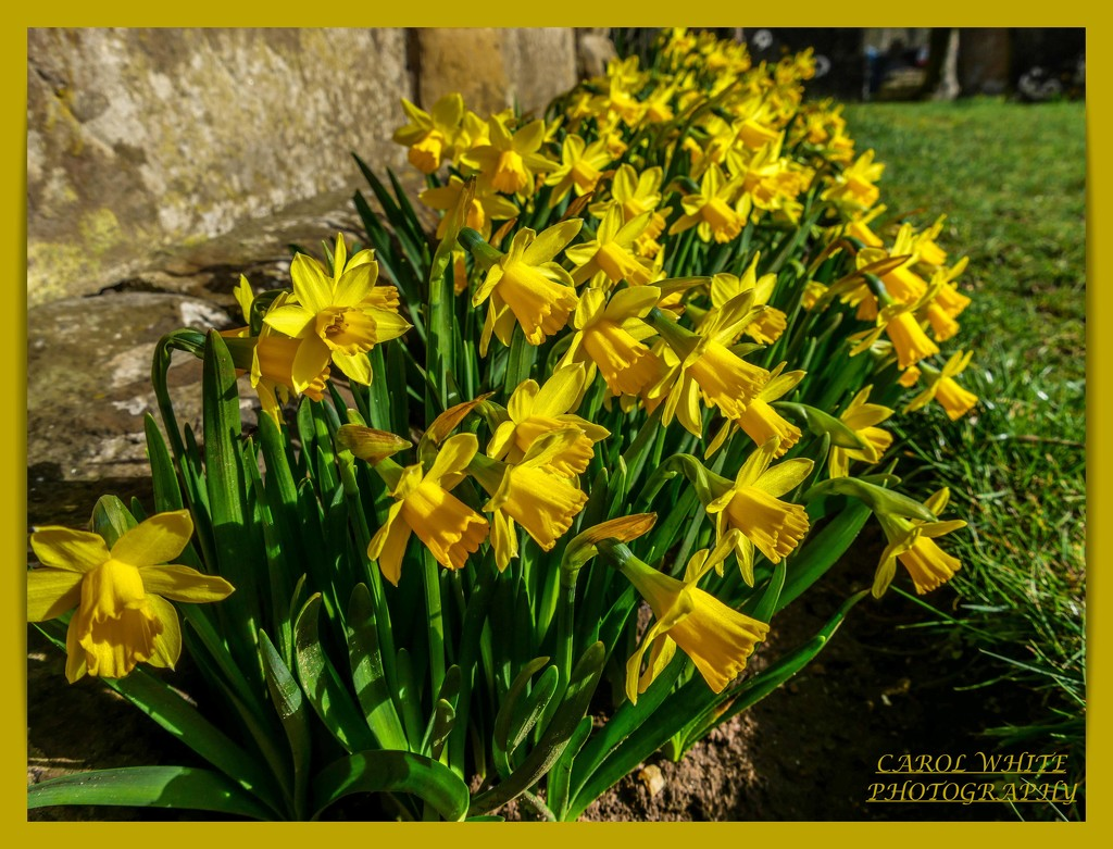 A Host Of Golden Daffodils by carolmw