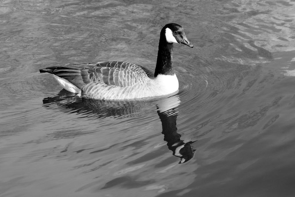 CANADA GOOSE by markp