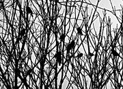 28th Feb 2021 - Birds In Branches