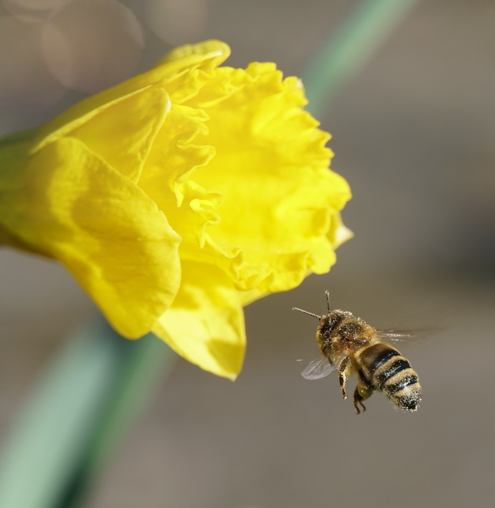 Bee in Flight  by lucycameron