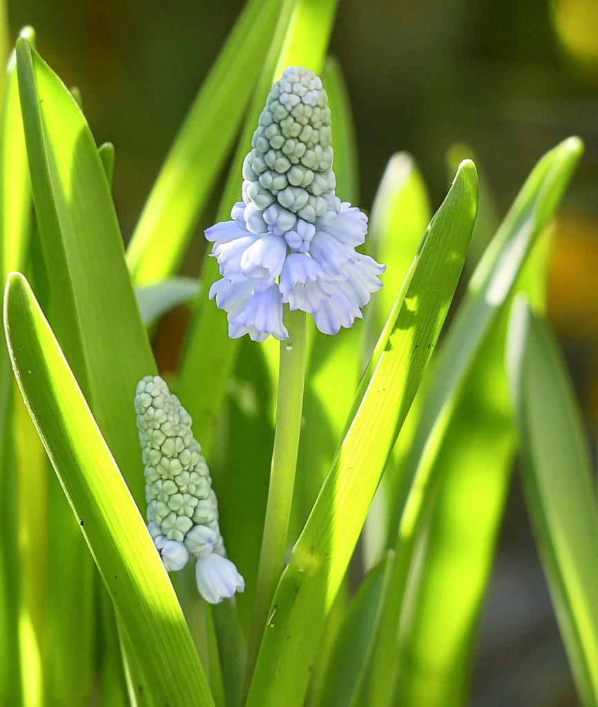 Muscari by tonygig