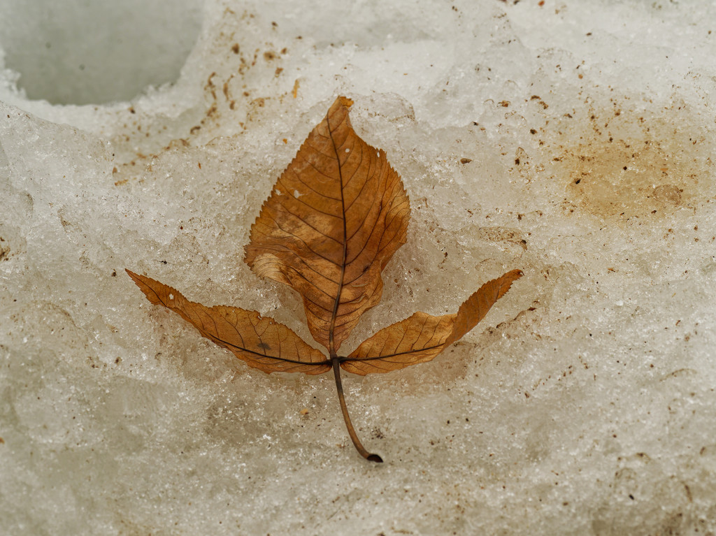 Hickory leaf in snow by rminer