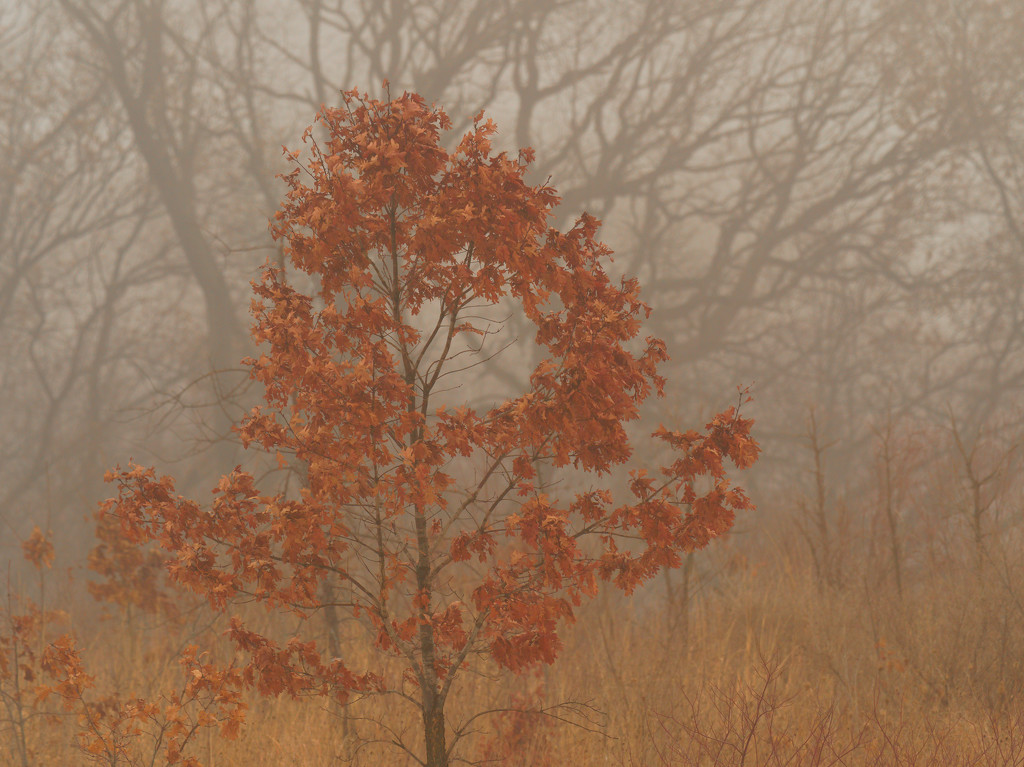 Northern red oak by rminer