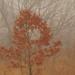 Northern red oak