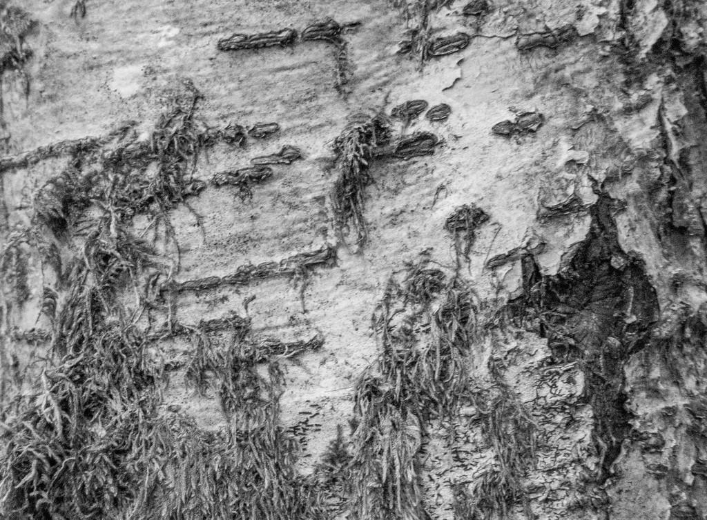 Birch by sheilaw