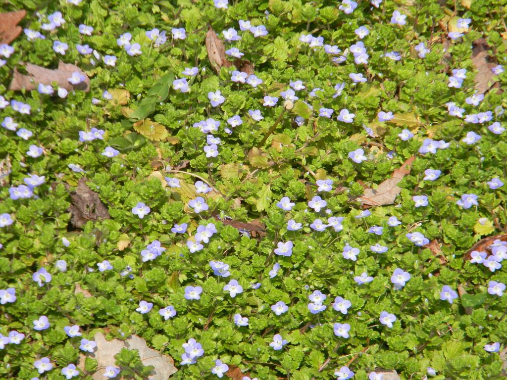 Blue Flowers by sfeldphotos