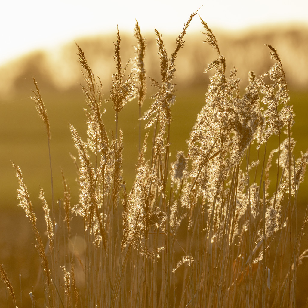 grasses at sunset by shepherdmanswife