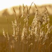 28th Feb 2021 - grasses at sunset