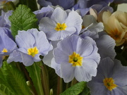 28th Feb 2021 - More Primroses
