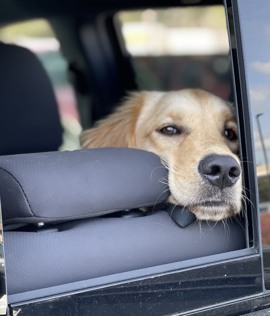 Dog in a truck.  by clayt