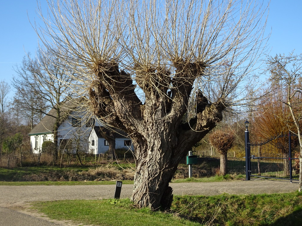 old willow by gijsje