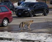 28th Feb 2021 - Coyote Crossing