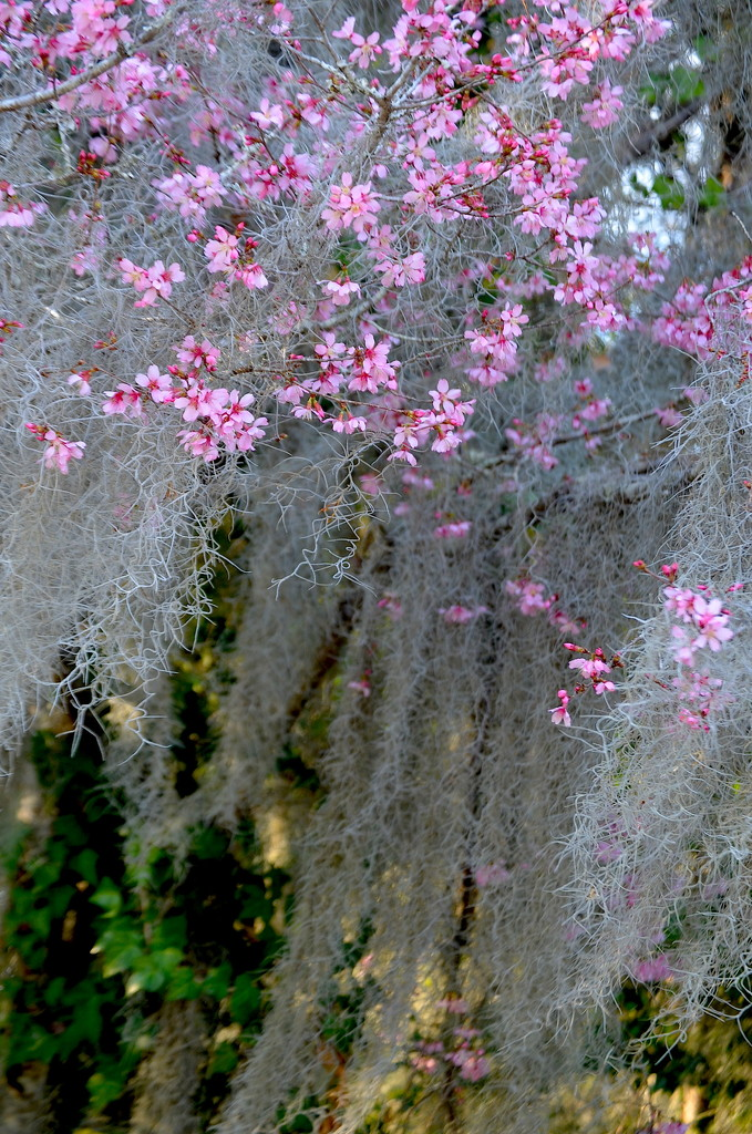 Red bud and Spanish moss by congaree